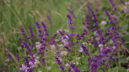 urple salvia in wild meadow with a bee