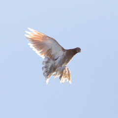 dove in flight in the sky