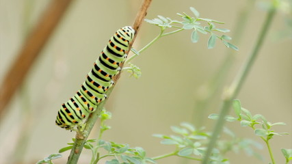 Papilio machaon butterfly caterpillar timelapse