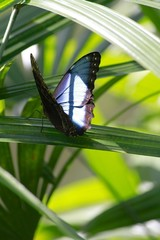 Common Morpho Butterfly - Ventral view