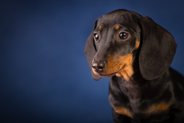Собака такса на синем фоне портрет