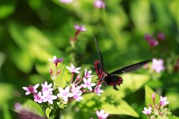 Pachliopta kotzebuea - Pink Rose butterfly