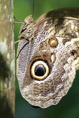 Giant Owl Butterfly - Caligo