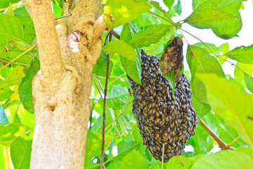 Honeybee swarm hanging on the tree