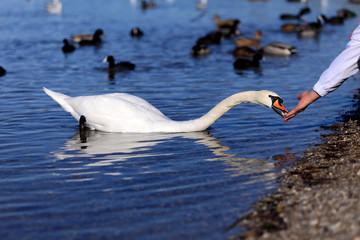 Biały łabędź karmiony z ręki.