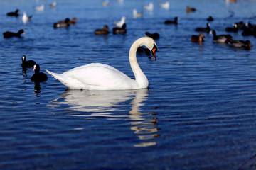 Biały łabędź w błękitnej wodzie.