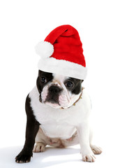 Cute French bulldog in Santa Claus hat isolated on white