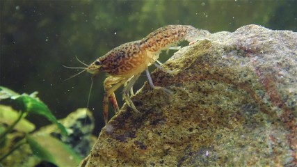 Live cray fish moving underwater