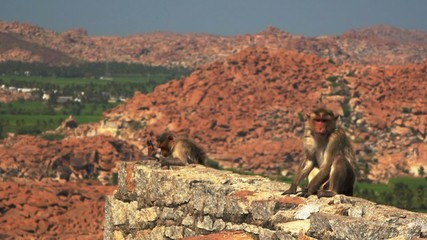 Monkeys near Hanuman Temple
