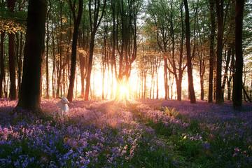 Bluebells and white rabbit sunrise