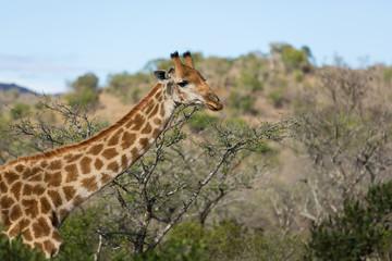 african giraffe closeup