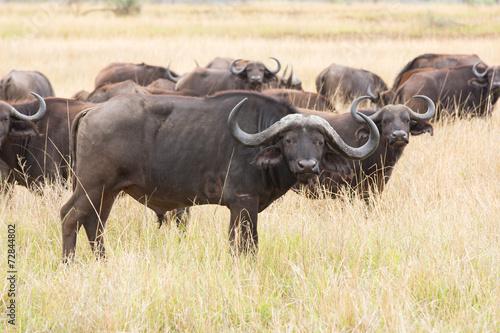 In de dag Buffel african buffalo herd