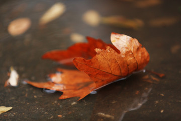 Autumn leaf in puddle