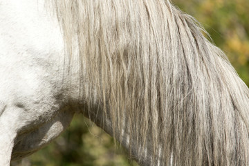 mane of a white horse