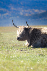 Yak siting on the grass