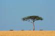 Zebras and tree, and tree, Masai Mara National Reserve