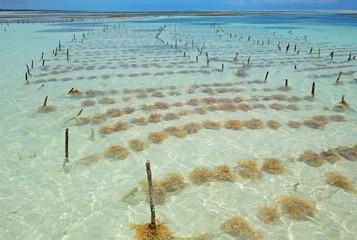 Seaweed farming, Zanzibar island, Tanzania