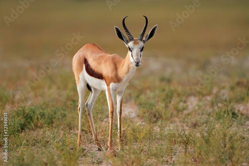 Foto op Canvas Antilope Springbok antelope