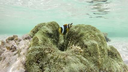 Underwater view of clownfish and sea anemone