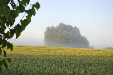 summer morning crop field and mist