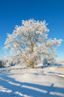 canvas print picture - Oak tree in winter
