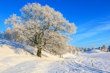 Old oak tree in snowy landscape