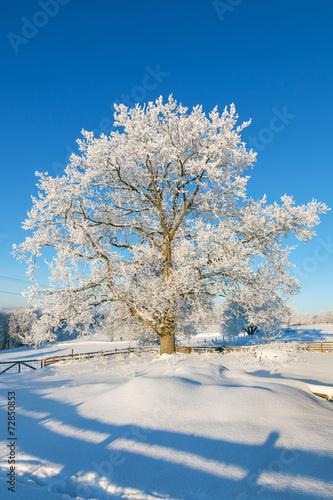 canvas print picture Oak tree in winter