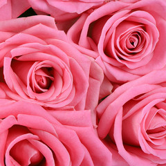 Pink rose  as a background