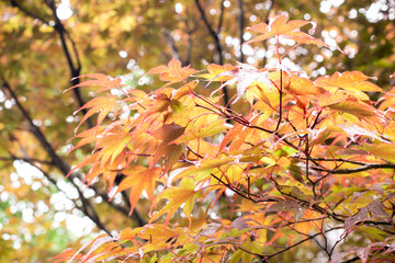 Maple leave in the early autumn of Japan