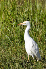Little Egret in Tall Grass