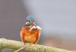 canvas print picture - Eisvogel mit Fisch als Beute