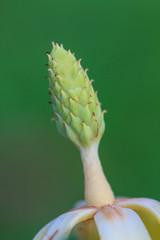 Magnolia utilis flower