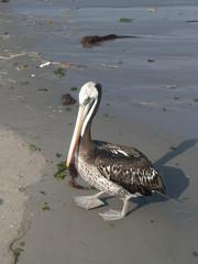 Pelican On A Beach