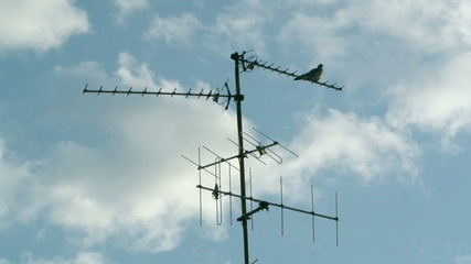 Pigeon bird sitting on aerial digital television radio antenna