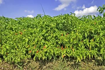 Chili Plantation