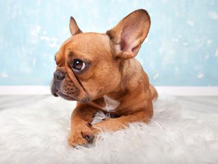 französische Bulldogge liegt auf Fell