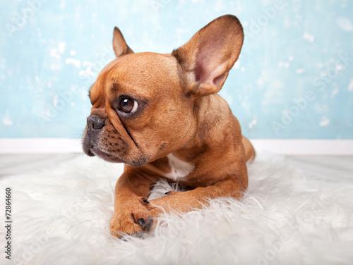 canvas print picture französische Bulldogge liegt auf Fell