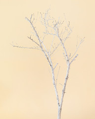 Dry Tree Painted with White Paint on Beige Background.