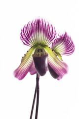 Paphiopedilum orchids flower.