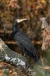 canvas print picture - cormorant (Phalacrocorax carbo)