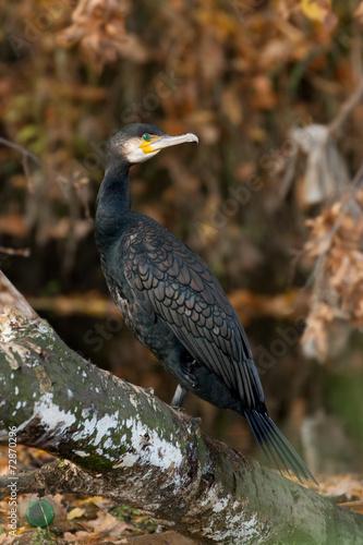 canvas print picture cormorant (Phalacrocorax carbo)