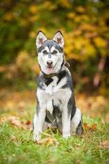 Siberian husky puppy sitting in autumn