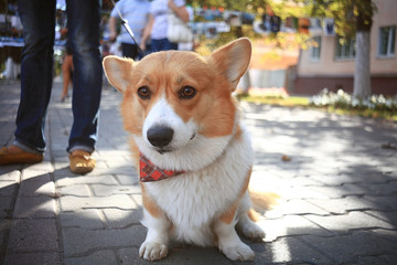 Corgi small dog on the street on a leash