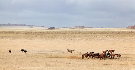 Wildpferde der Namib