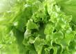 macro lettuce