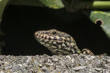 lizard - lucertola