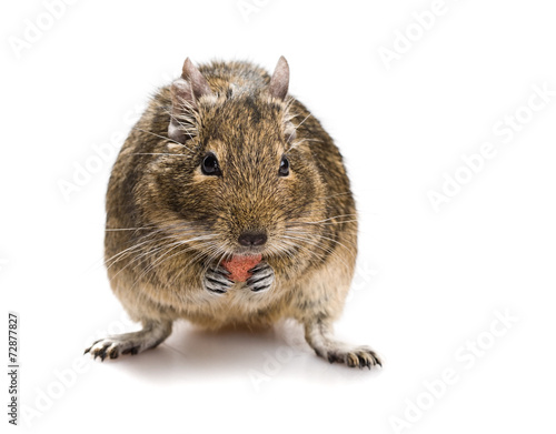 Deurstickers Eekhoorn degu mouse gnawing pet food