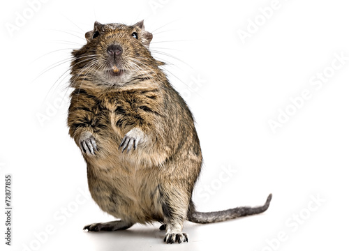Foto op Plexiglas Eekhoorn funny pet degu mouse with yellow teeth