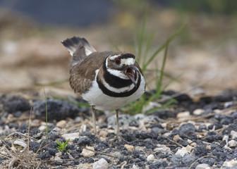 Killdeer Calling and Defending its Nesting Territory