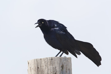 Male Great-tailed Grackle Calling From a Wooden Post - Texas